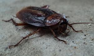 barata-cucaracha-cockroach[1]
