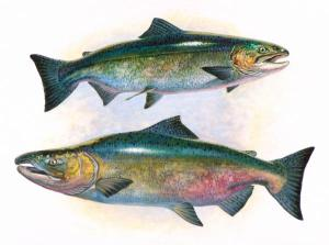 chinook-salmon[1]