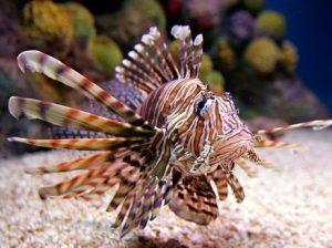 lionfish-9f7f0480b3c6c767897b092ce3ecc3fd91e7d44f-s3[1]