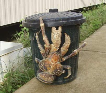coconut_crab[1]