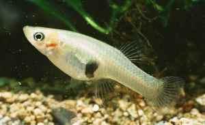mosquitofish-R[1]