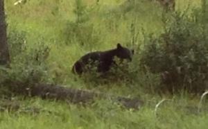 bearcu