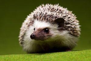 hedgehog[1]