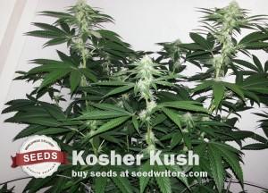 kosher-kush2[1]