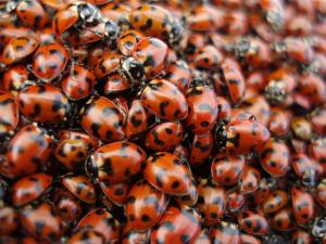 076-ladybugs-on-fortune-enl[1]