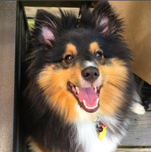 This is my unsynthetic sheltie, Riley, included here just to satisfy those of you who are reading just to see a cute puppy.